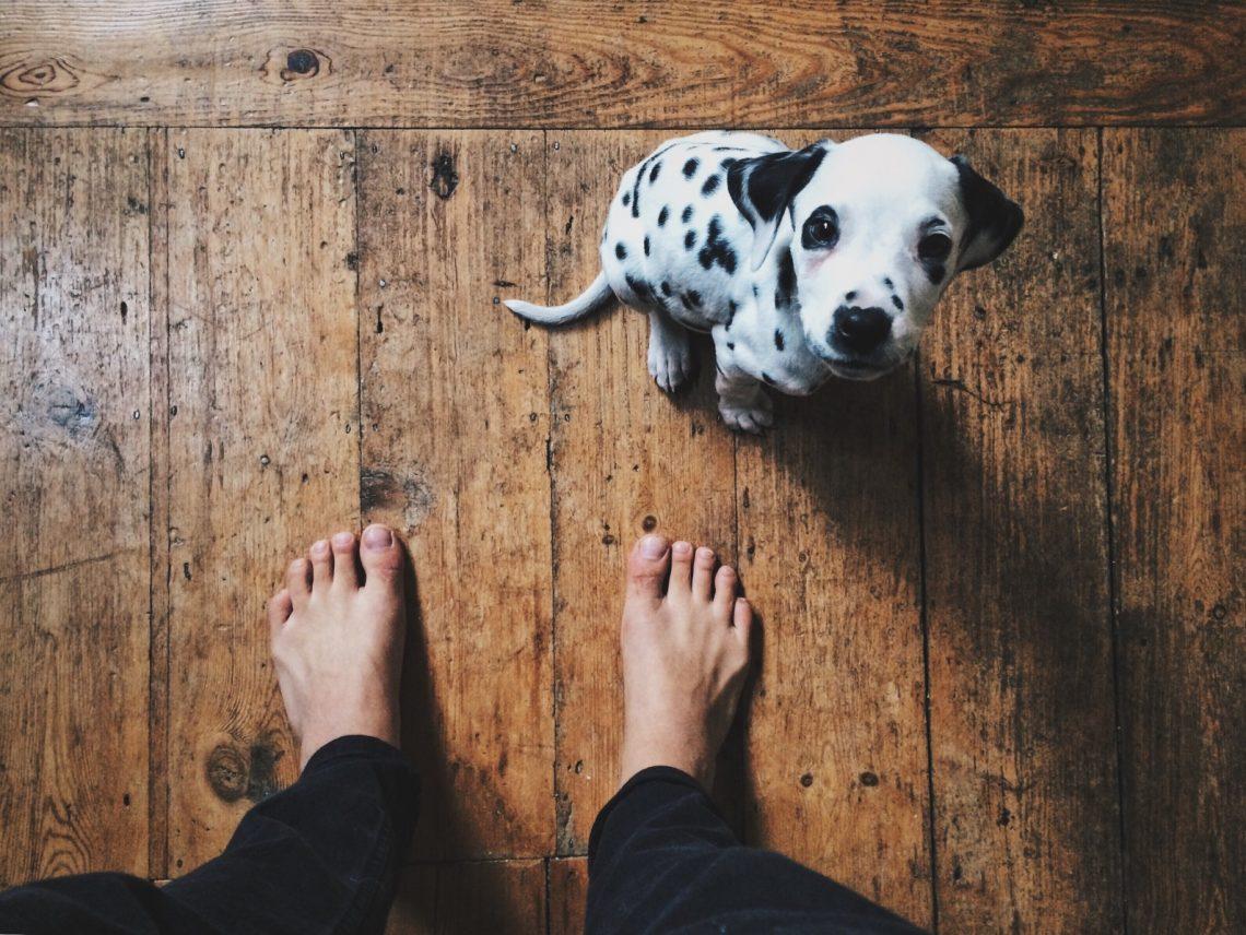 chiot-dalmatien-assis